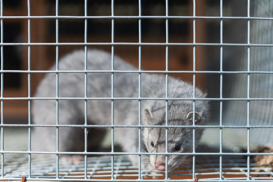 mink-in-a-cage