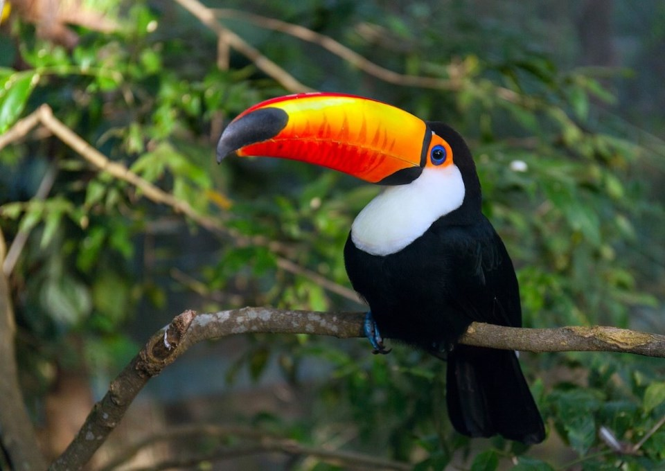 news-wildlife-bird-toucan-tree