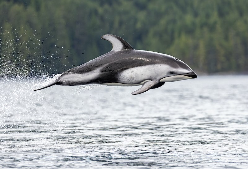 Vancouver-basedLiron Gertsman photographed a pod of Pacific white-sided dolphins on a recent tour with Campbell River Whale Watching in September 2021.