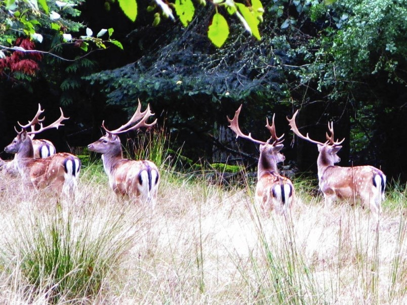 Parks_Canada-web-fallow-deer-on-sidney-island-jpg