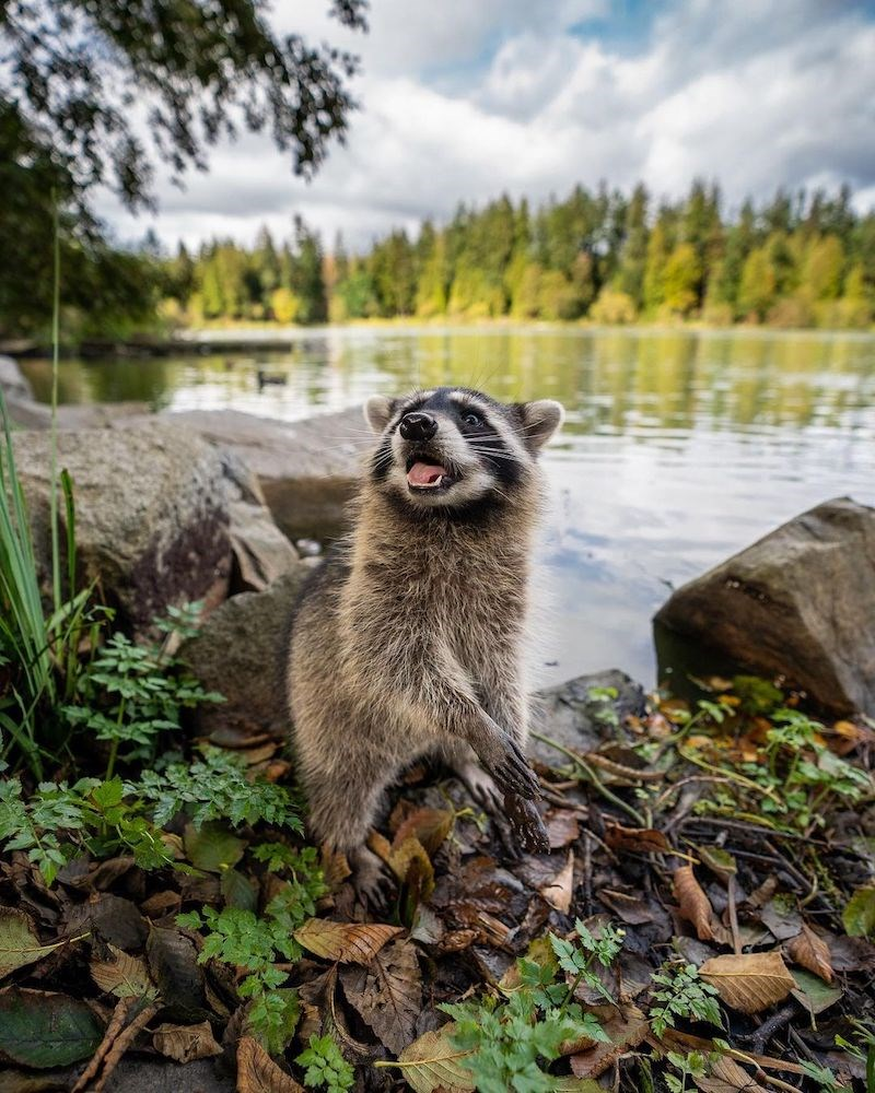 racoon-vancouver