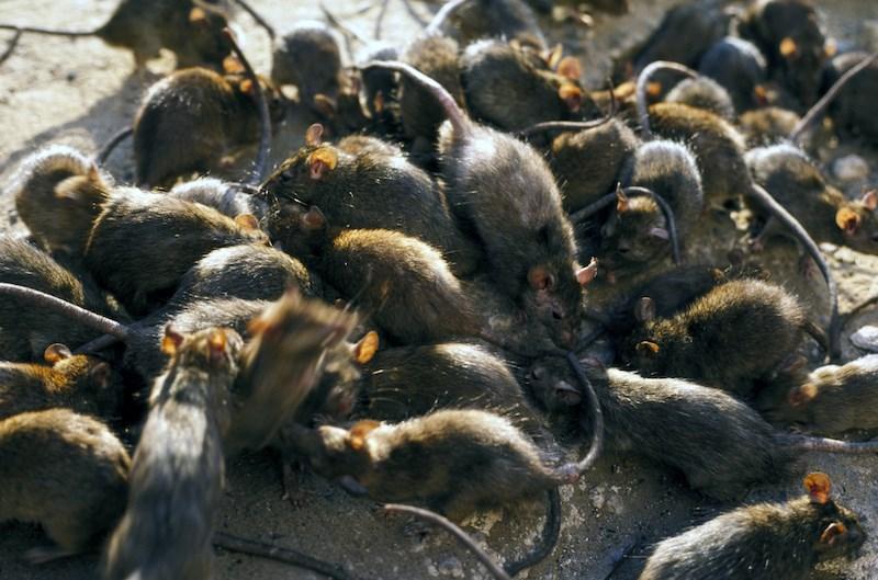 rat-infestation-rent-vancouver