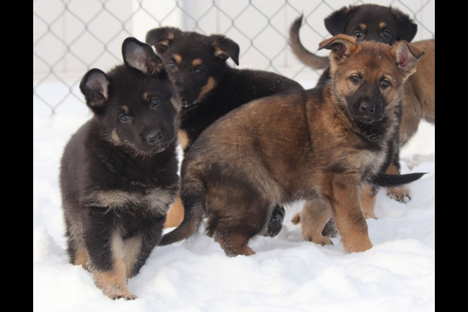 The Police Dog Service Training Centre (PDSTC) in Innisfail, Alberta, is asking young Canadians to suggest names for 13 German shepherd puppies.