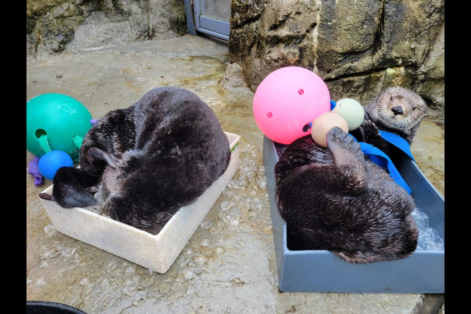 Many people from Europe and around the globe tune in to the live stream of the Vancouver Aquarium's rescued otters.