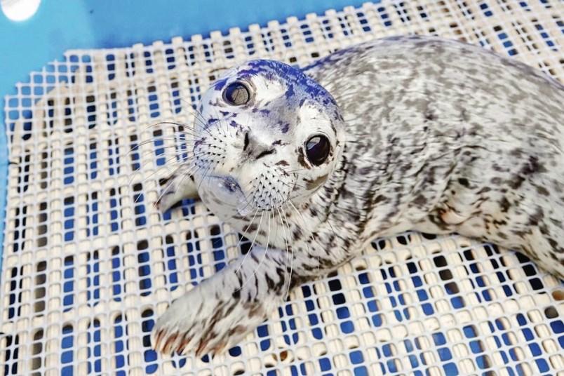 rescued-seal-flip-flop-vancouver-aquarium