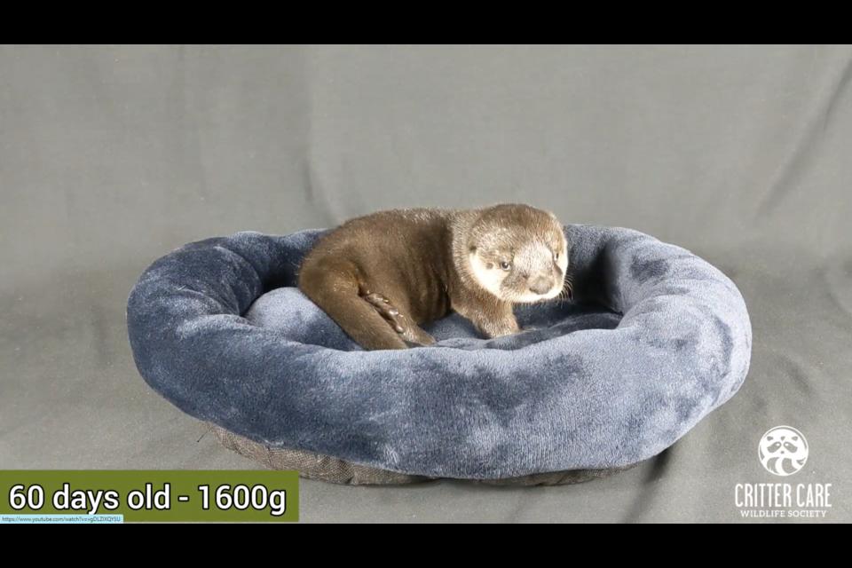 Cadbury the river otter at 16 days.
