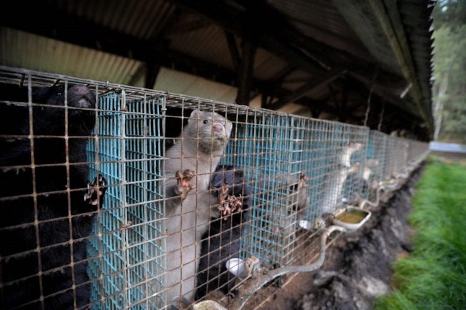 row-of-farmed-mink-cages-CREDIT-We_Animals-825x549