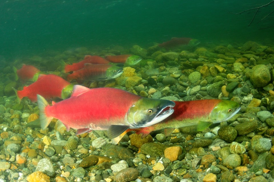 Salmon-Getty