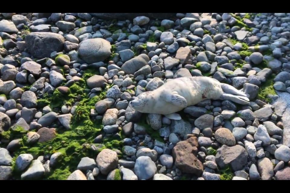 Acadia the seal pup was found at Acadia Beach.