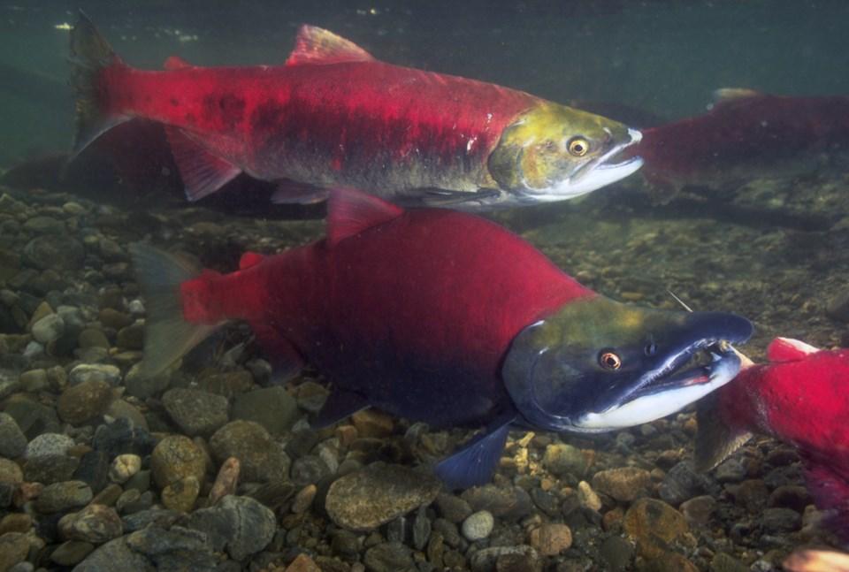 Sockeye_Salmon_Fraser_River