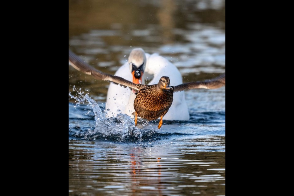 Local wildlife photographer David Leeming has a knack for capturing Vancouver wildlife in captivating poses.