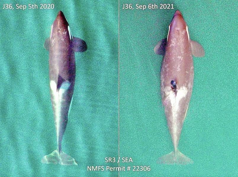 tc-360363-web-pregnant-whale-j36-jpg