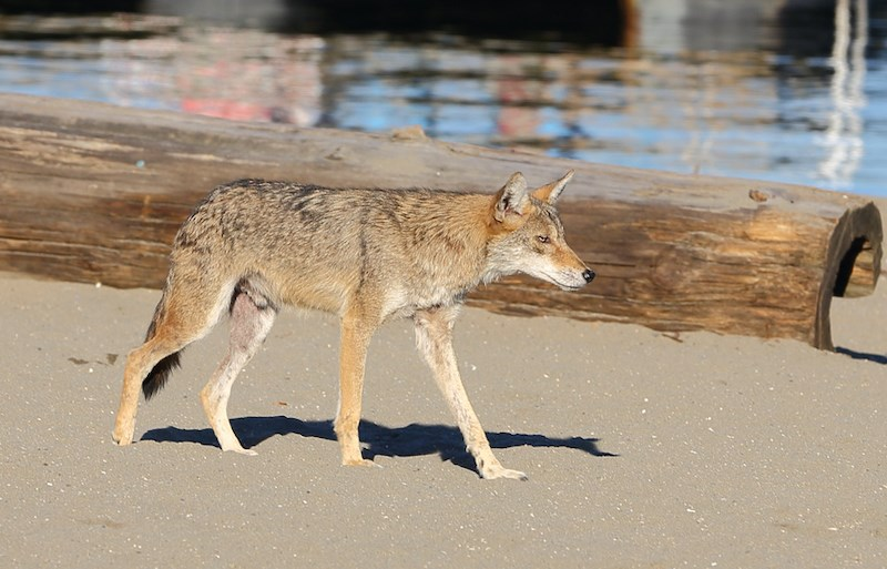 urban-coyote-vancouver-getty