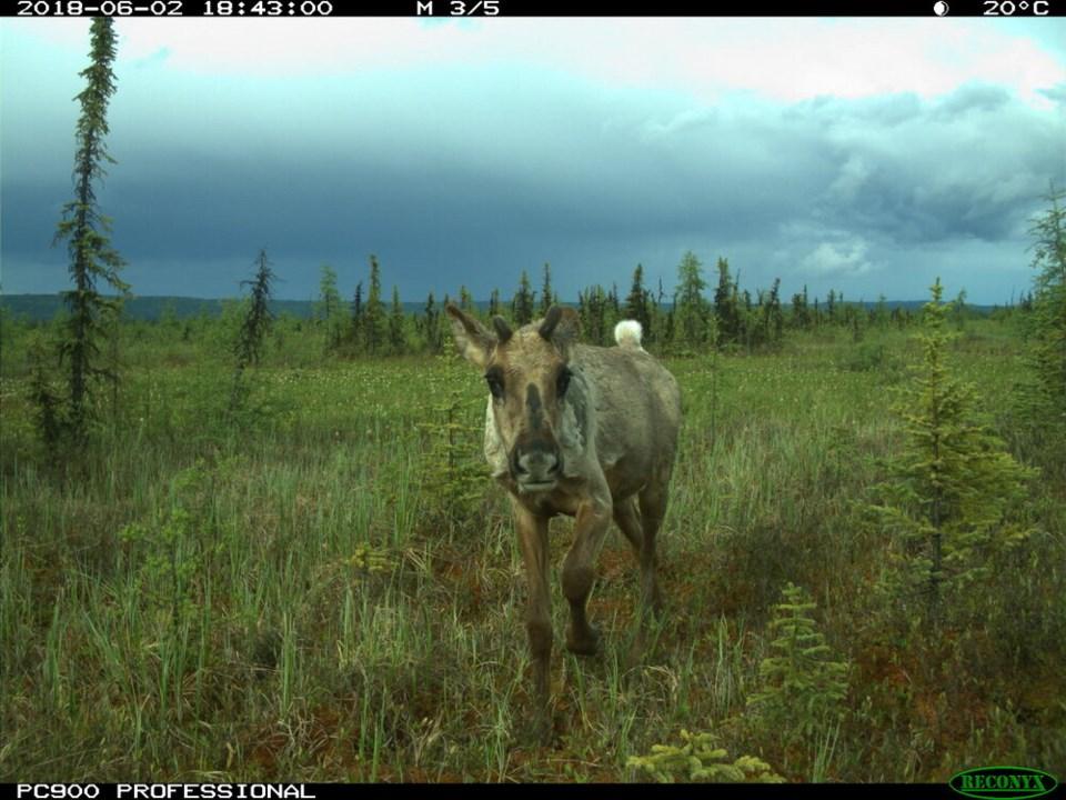 Woodland Caribou 1