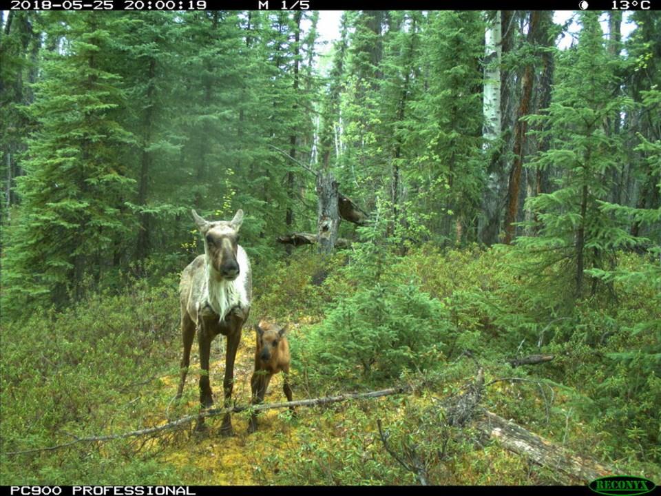 Woodland caribou 2