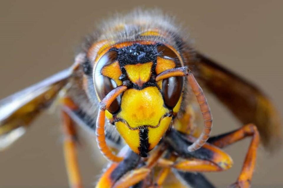 asian-giant-hornet