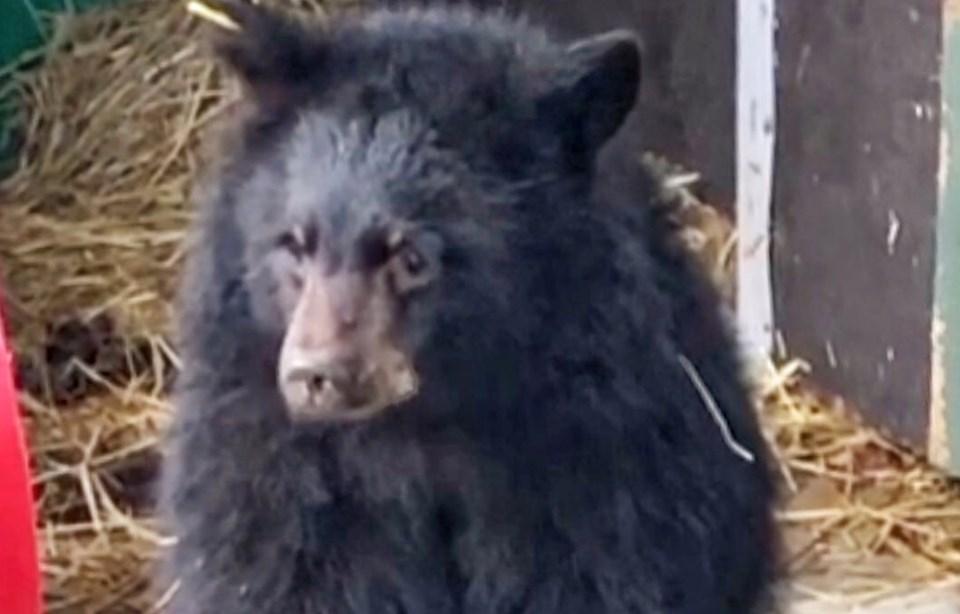 bear cub ccws2