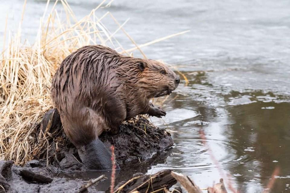 beaver-water