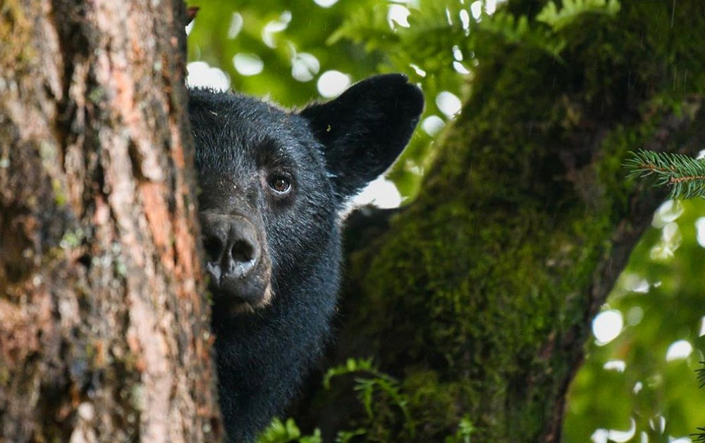 Vancouver hobby photographer shares beautiful images of black bears (PHOTOS)