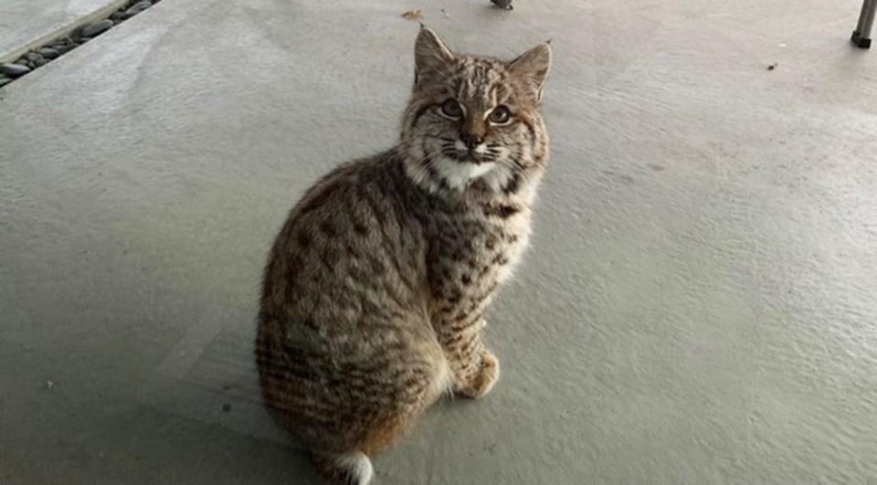 bobcat1 copy