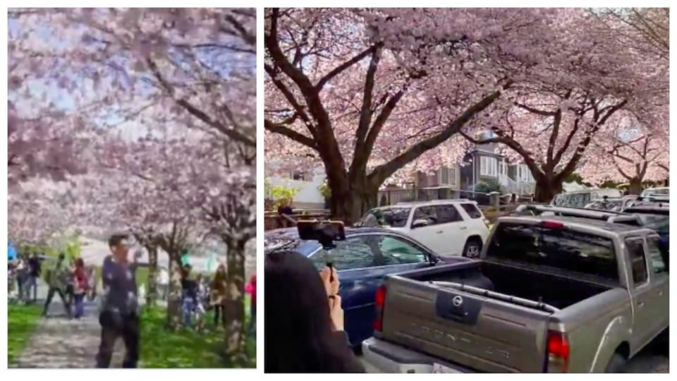 cherry-blossom-crowding-vancouver