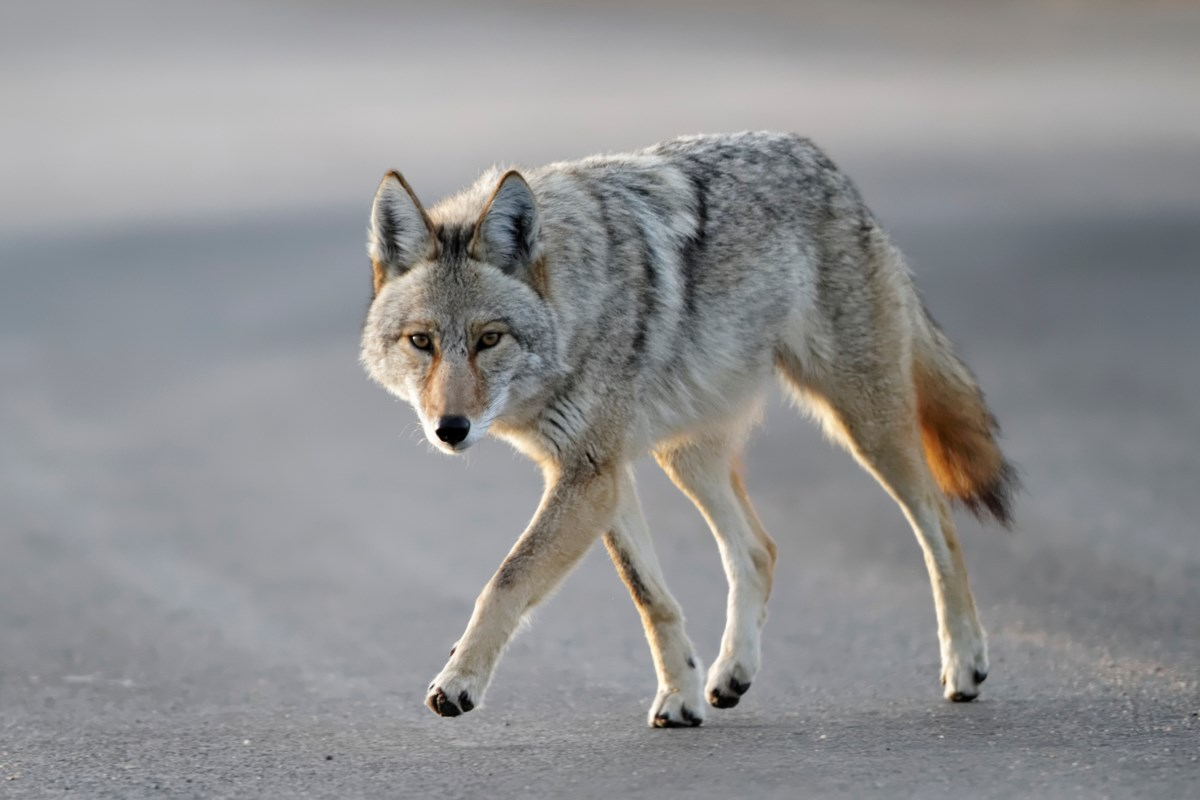 Opinion: It's almost time to shoot the Stanley Park coyotes