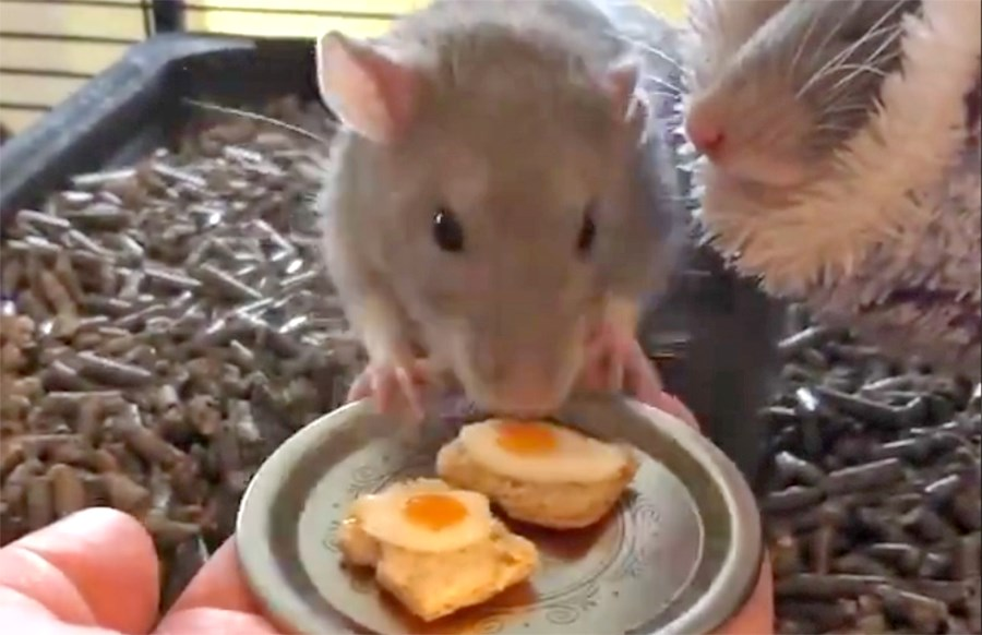 rats-eating-eggs-on-toast