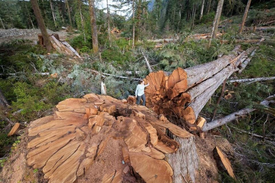 A cedar tree downed in the Nahmint Valley near Port Alberni.