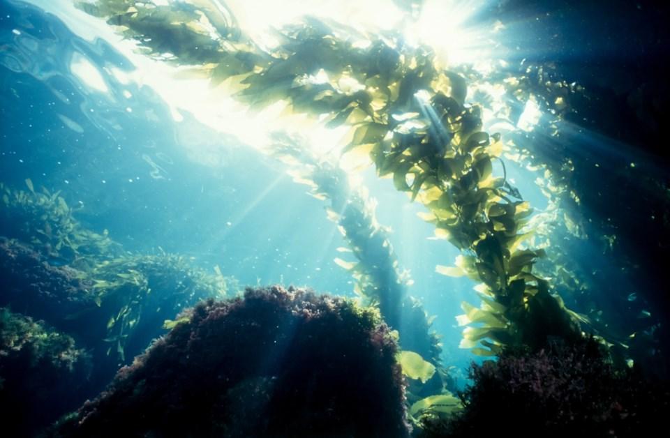 Seaweed-kelp-underwater-ocean_Getty