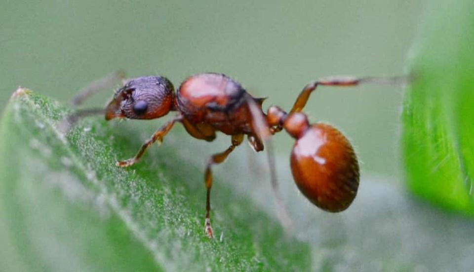 european-fire-ant