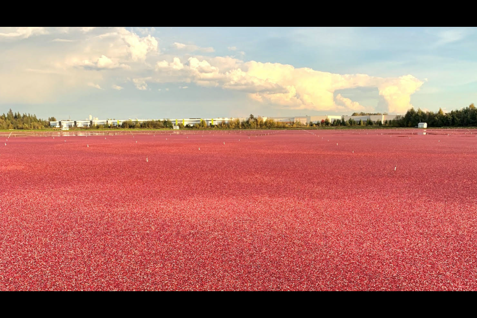 Harvest time at Mayberry Cranberry Farm in Burnaby, as captured on Thursday, Oct. 22. Photo by John Preissl