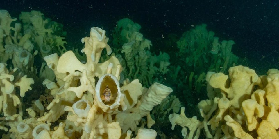 Glass sponges in Howe Sound (c) Adam Taylor, MLSS