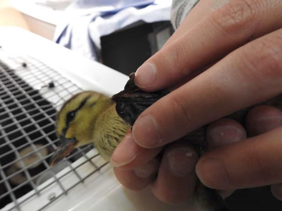 news-orphaned-duckling-injured-feet