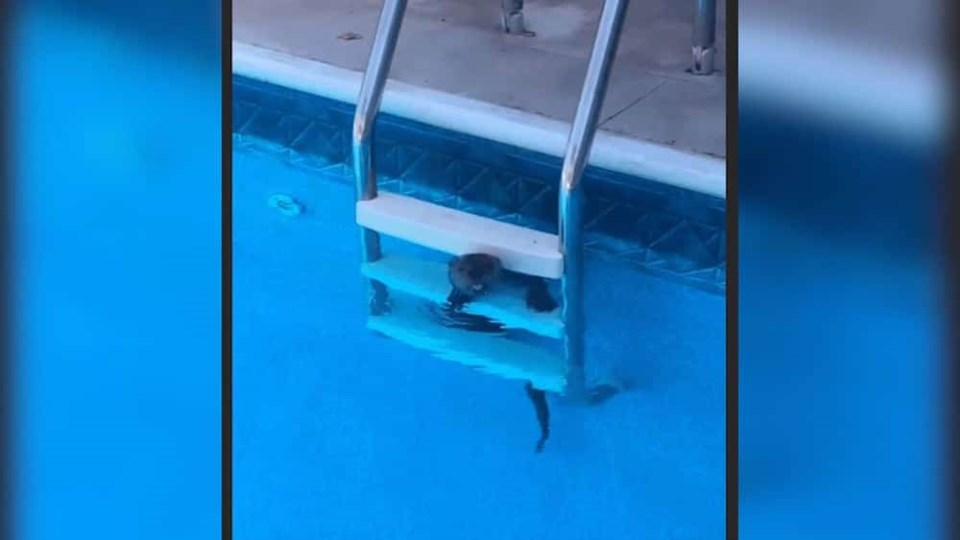 otter-tongue-out-pool