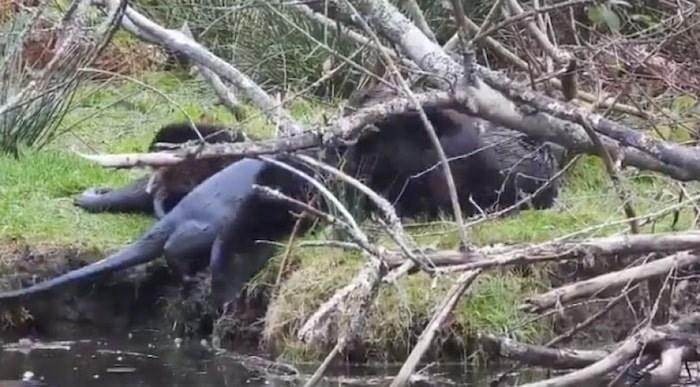 otters-min