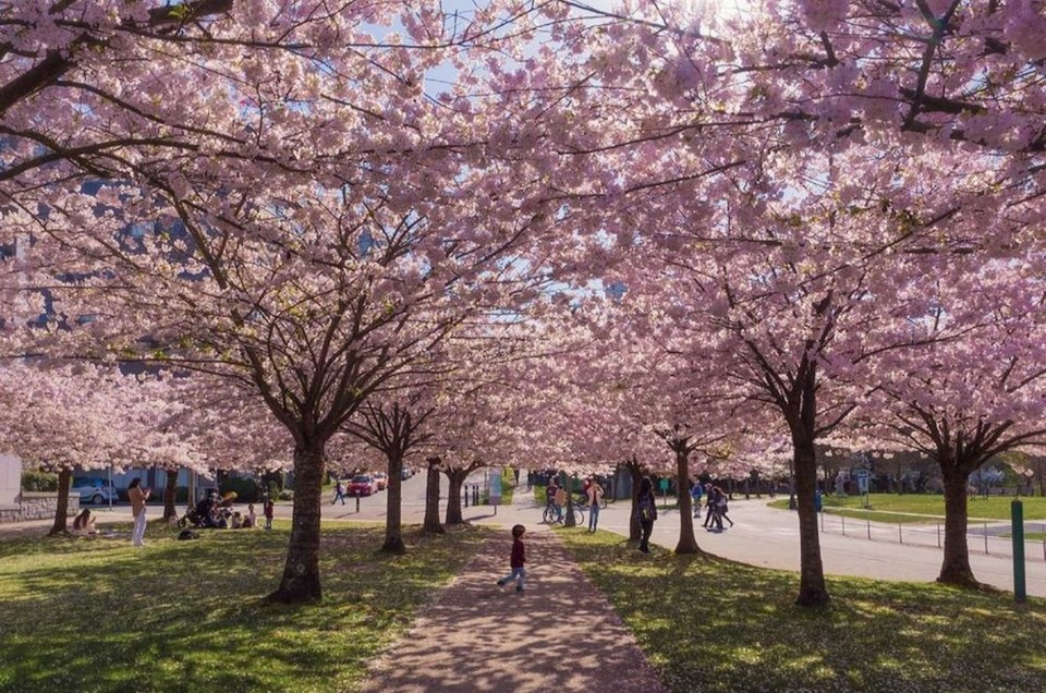 cherry-blossom-vancouver-pictures