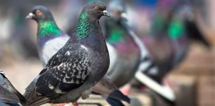 pigeon-birth-control