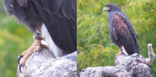 rare-hawk-kelowna