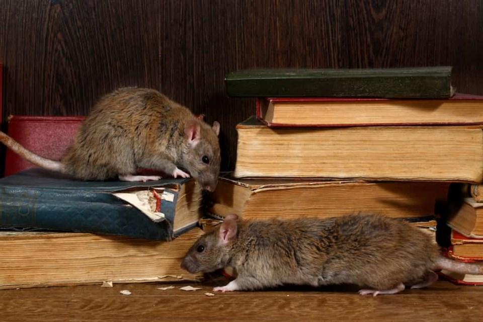 rats-books