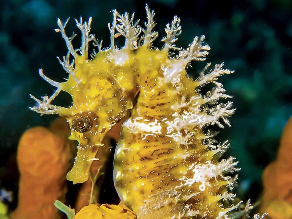 second-seahorse
