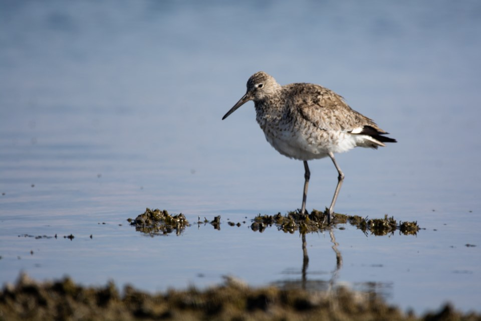 Western-Sandpiper-GettyImages-1161721120