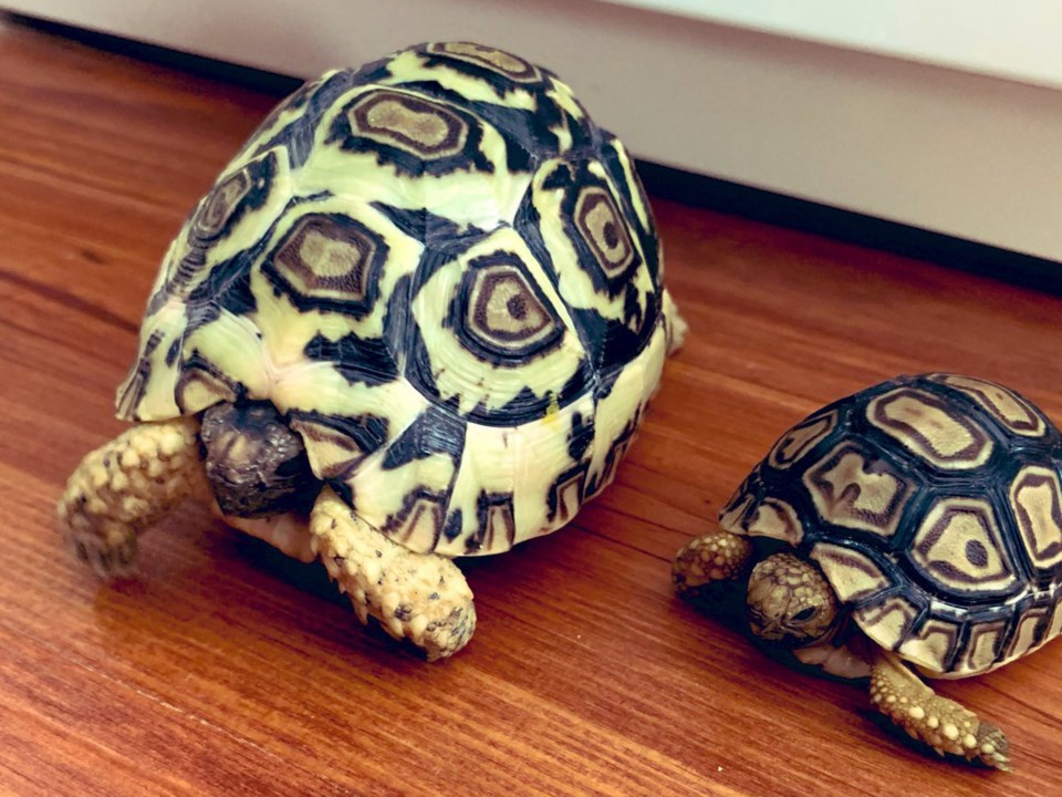 holtby-tortoises
