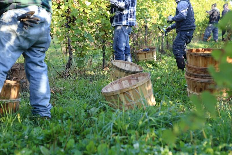 harvesting-grapes-vineyard