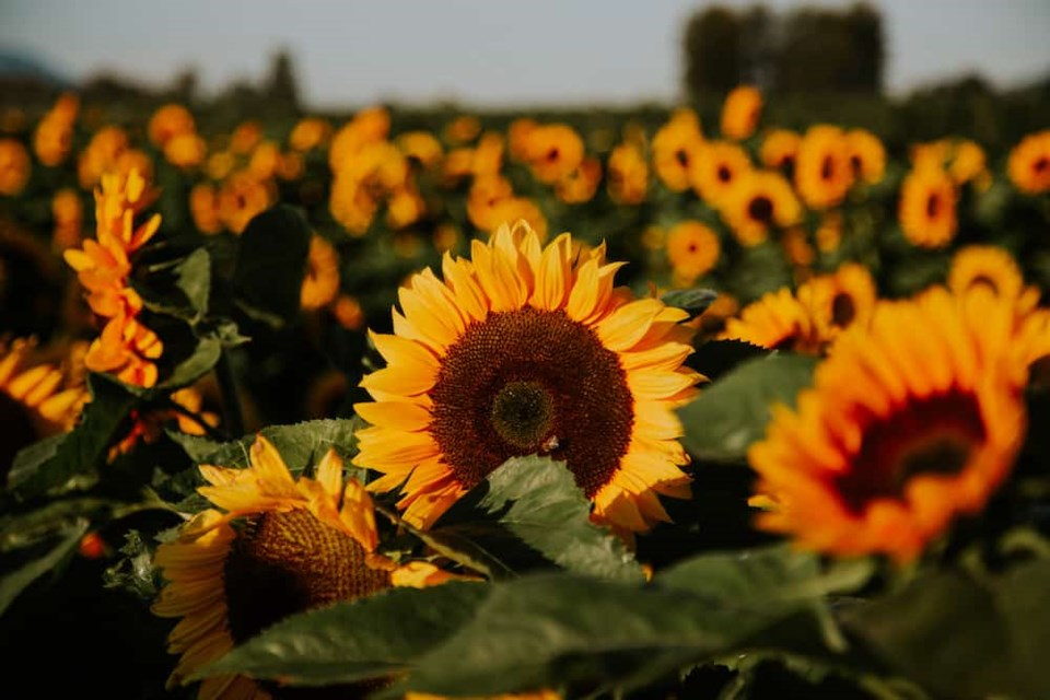 sunflowers-feature