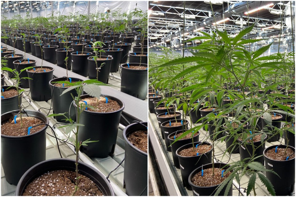 The recent heat wave that gripped the Pacific Northwest last week with record-breaking temperatures led to significant growth of cannabis plants at the Potanicals Green Growers Inc. greenhouses in Peachland, B.C.