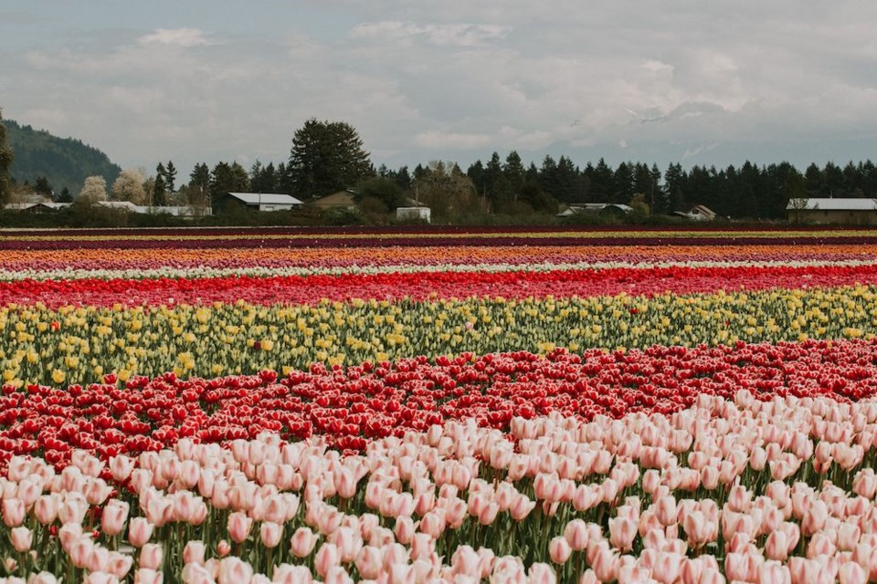 chilliwack-tulip-festival