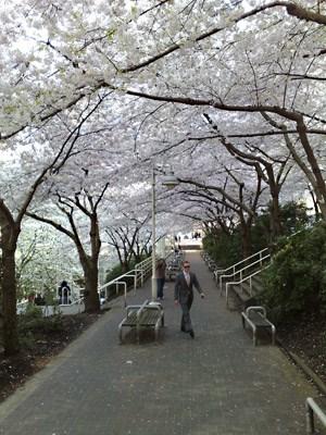 burrard-station-sakura