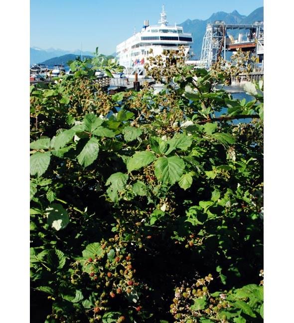 vancouverblackberries