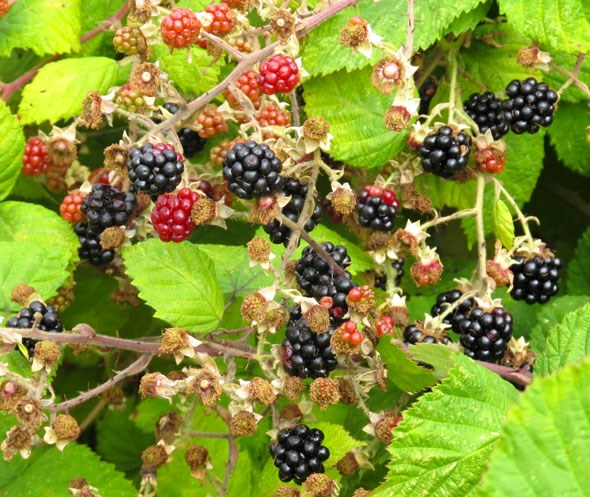 vancouver blackberries