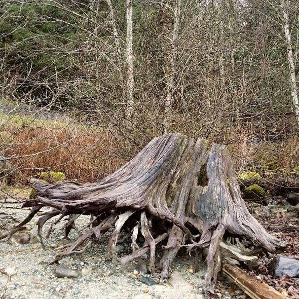 alouette-lake-stump